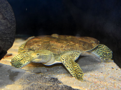 photo Spiny softshelled turtle / <span class='cursive'>Apalone spinifera</span>