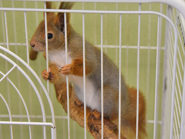 photo Eurasian red squirrel / <span class='cursive'>Sciurus vulgaris</span>