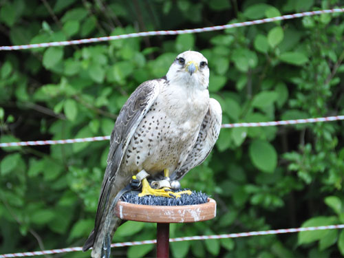 photo Falco biarmicus / Lanner falcon