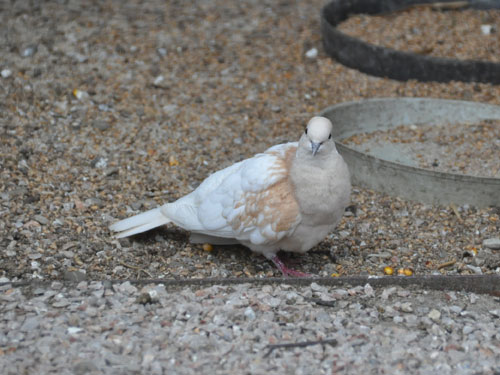 Pink-headed turtle dove