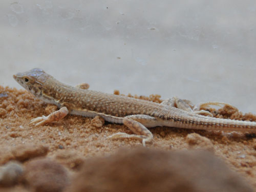 photo Small-spotted lizard / <span class='cursive'>Mesalina guttulata</span>