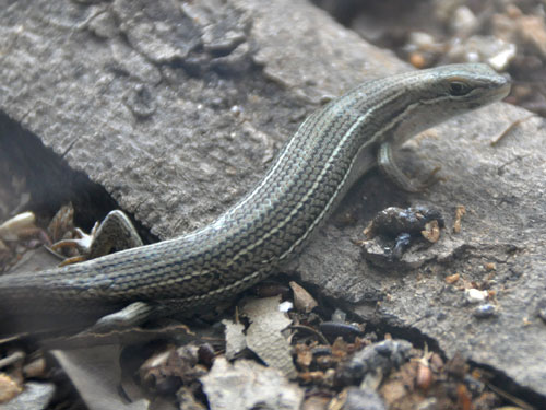 photo Bridled mabuya / <span class='cursive'>Trachylepis vittata</span>