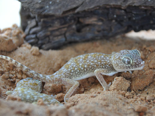 Straight-tailed gecko