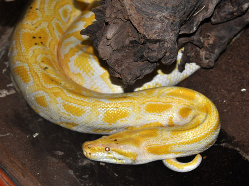 photo Burmese rock python / <span class='cursive'>Python bivittatus</span>