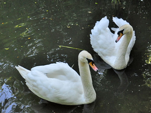 photo Cygnus olor / Mute swan