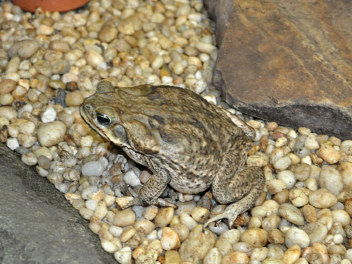 Giant marine toad