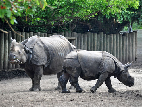photo Indian rhinoceros / <span class='cursive'>Rhinoceros unicornis</span>