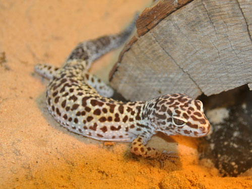 photo Leopard gecko / <span class='cursive'>Eublepharis macularius</span>