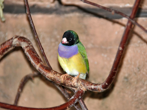 photo Gouldian finch / <span class='cursive'>Chloebia gouldiae</span>