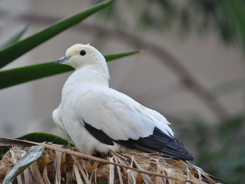 photo Pied imperial pigeon / <span class='cursive'>Ducula bicolor</span>