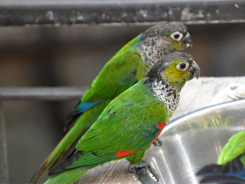 photo Black-capped conure / <span class='cursive'>Pyrrhura rupicola</span>