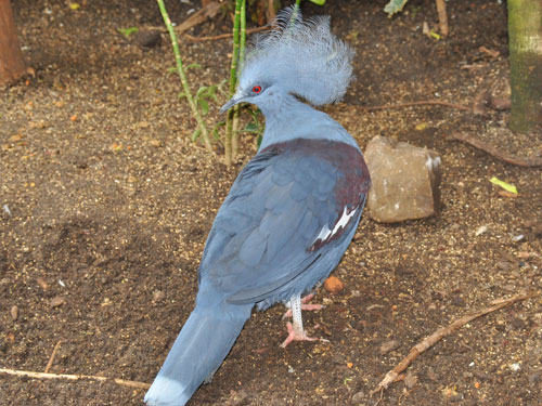 Blue crowned pigeon