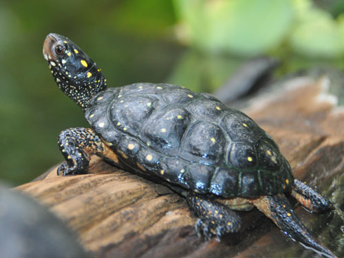 photo Spotted turtle / <span class='cursive'>Clemmys guttata</span>