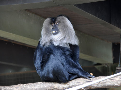 photo Lion-tailed macaque / <span class='cursive'>Macaca silenus</span>