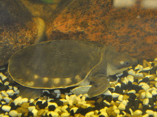 photo Fly River turtle / <span class='cursive'>Carettochelys insculpta</span>