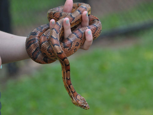 photo Pantherophis guttatus / Cornsnake/red ratsnake