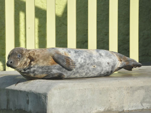 photo Baltic Sea grey seal / <span class='cursive'>Halichoerus grypus macrorhyncus</span>