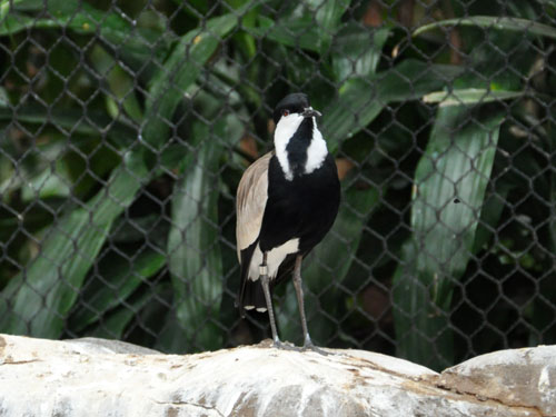photo Vanellus spinosus / Spur-winged plover