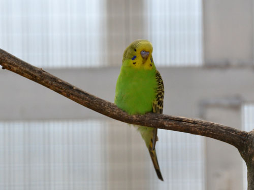 photo Budgerigar (Breeding-form) / <span class='cursive'>Melopsittacus undulatus</span>