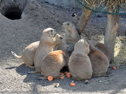 photo <span class='cursive'>Cynomys ludovicianus</span> / Black-tailed prairie dog