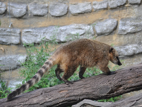 photo Brown-nosed coati / <span class='cursive'>Nasua nasua solitaria</span>