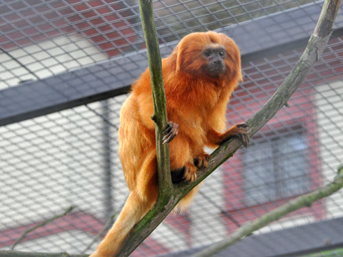 photo Leontopithecus rosalia / Golden lion tamarin