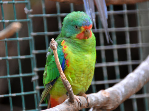 photo Swift parrot / <span class='cursive'>Lathamus discolor</span>