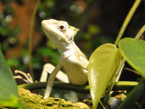 photo Casque-headed iguana / <span class='cursive'>Laemanctus serratus</span>