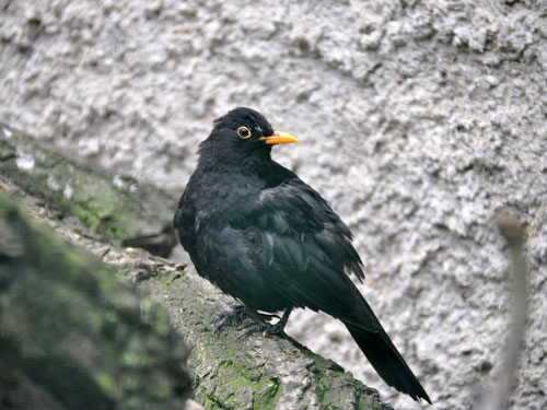 photo European blackbird / <span class='cursive'>Turdus merula</span>