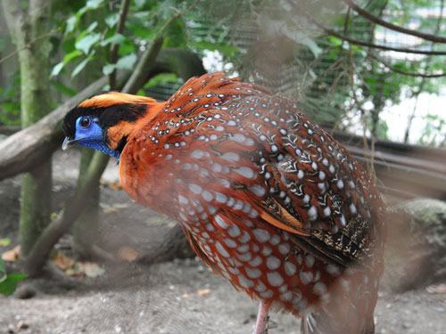 photo Temminck's tragopan / <span class='cursive'>Tragopan temminckii</span>