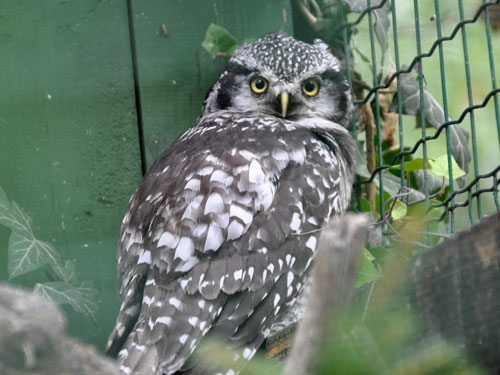photo Surnia ulula / Hawk owl