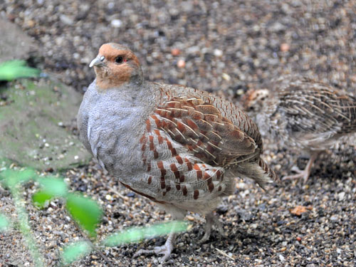 photo Grey partridge / <span class='cursive'>Perdix perdix</span>