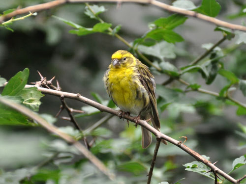 photo Serin / <span class='cursive'>Serinus serinus</span>