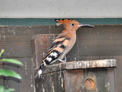 photo Common hoopoe / <span class='cursive'>Upupa epops</span>