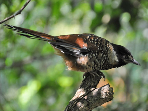 White-spotted laughing thrush