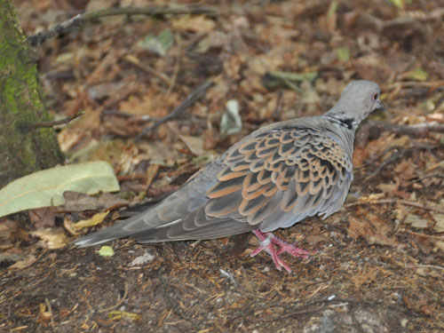 photo Turtle dove / <span class='cursive'>Streptopelia turtur</span>