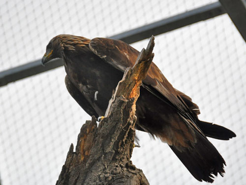 photo Golden eagle / <span class='cursive'>Aquila chrysaetos</span>