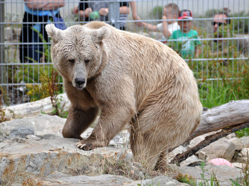 photo Himalayan brown bear / <span class='cursive'>Ursus arctos isabellinus</span>