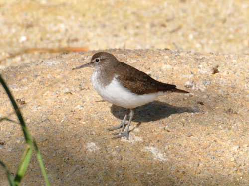 photo Common sandpiper / <span class='cursive'>Actitis hypoleucos</span>