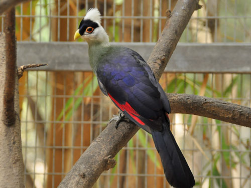 photo White-crested turaco / <span class='cursive'>Tauraco leucolophus</span>