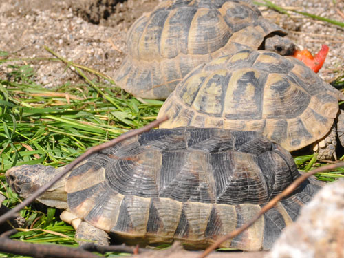 photo Marginated tortoise / <span class='cursive'>Testudo marginata marginata</span>