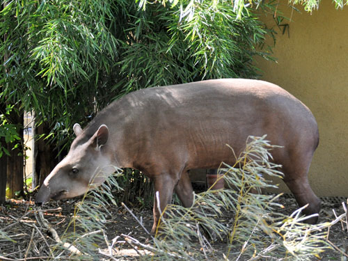 photo Tapirus terrestris / South American tapir