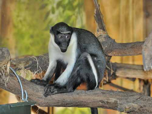 photo Diana monkey / <span class='cursive'>Cercopithecus diana diana</span>