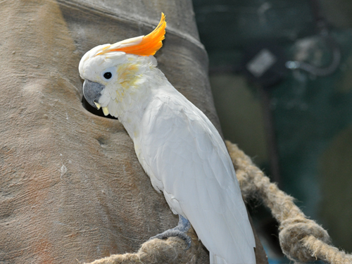 photo Sumba less sulphur-crested cockatoo / <span class='cursive'>Cacatua sulphurea citrinocristata</span>