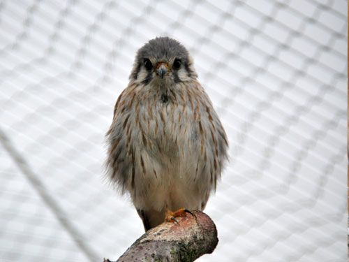 photo American kestrel/sparrowhawk / <span class='cursive'>Falco sparverius</span>