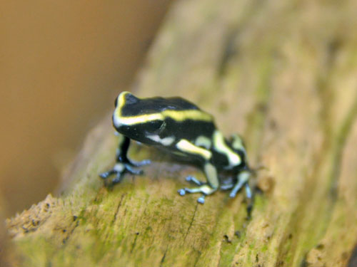 Yellow-striped poison dart frog