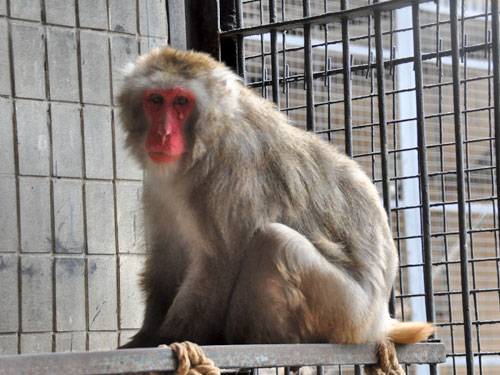 photo Japanese macaque / <span class='cursive'>Macaca fuscata</span>