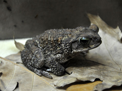Cuban crested toad