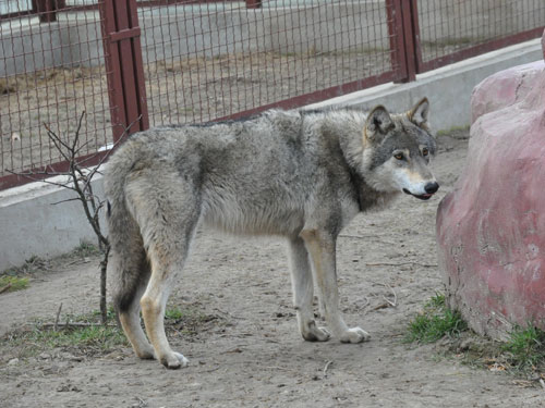 photo Canis lupus lupus / European grey wolf