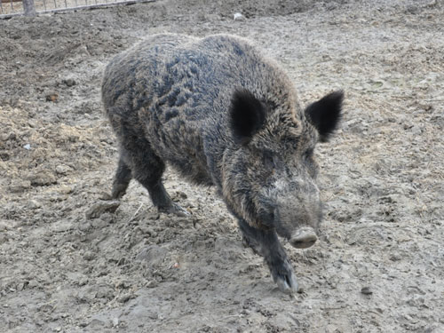 photo Wild boar / <span class='cursive'>Sus scrofa</span>